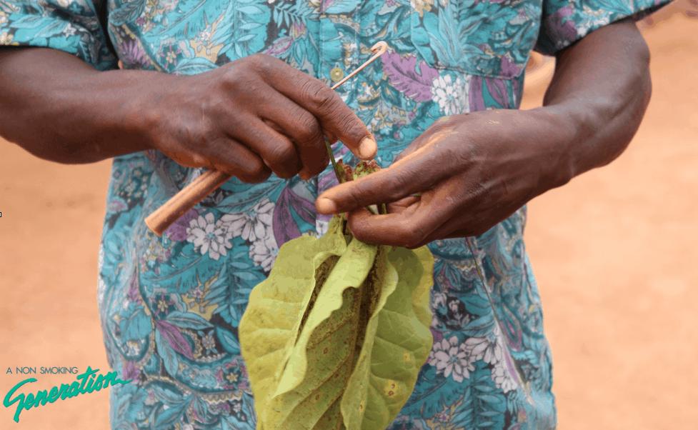 Tobaksbonde händer Malawi
