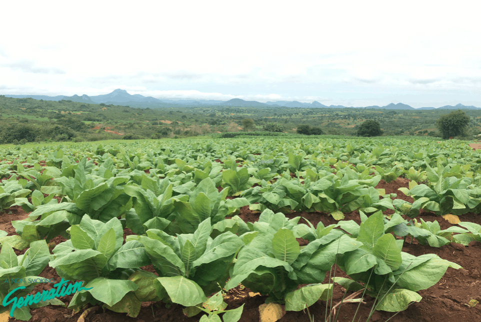 Tobaksodling Malawi